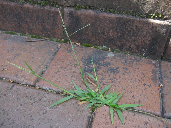 Digitaria Violascens