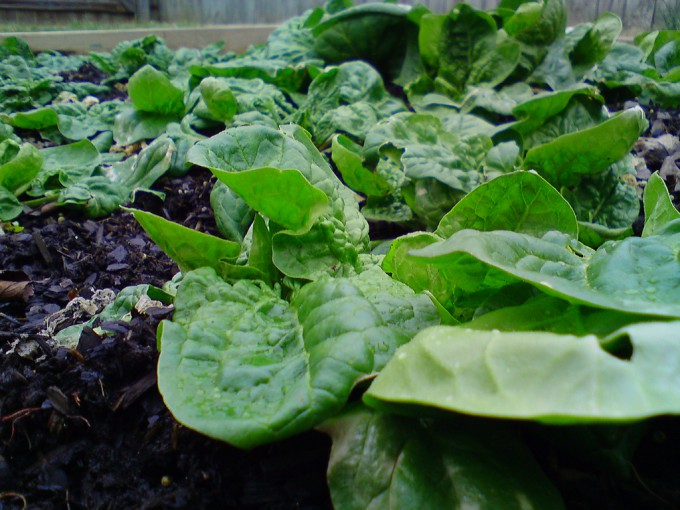 Spinach in the Winter